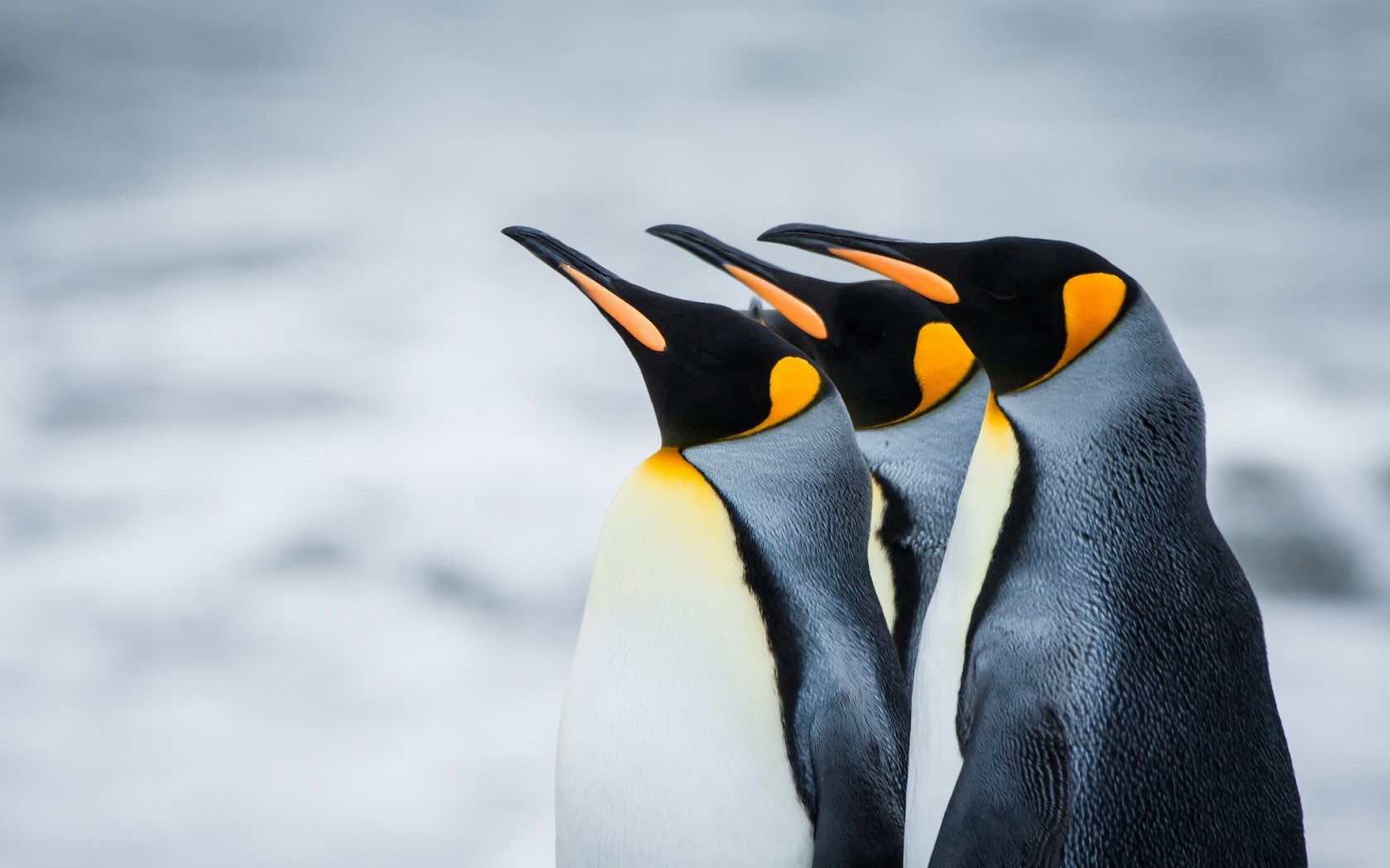 royal penguins antarctica wallpaper