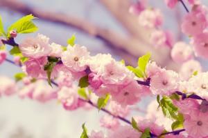 sakura blossoms flower