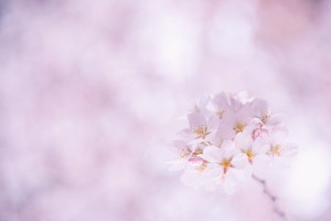 sakura cherry flower