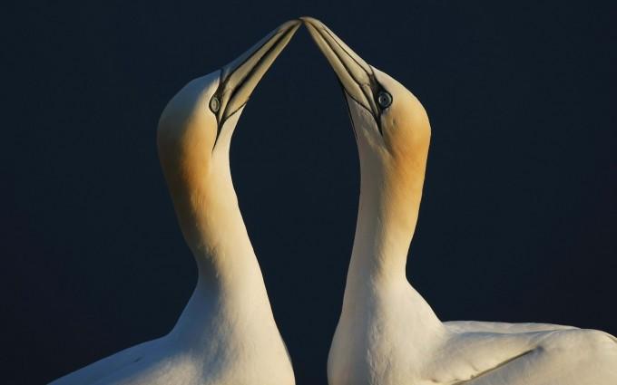 seabirds love romantic wallpaper