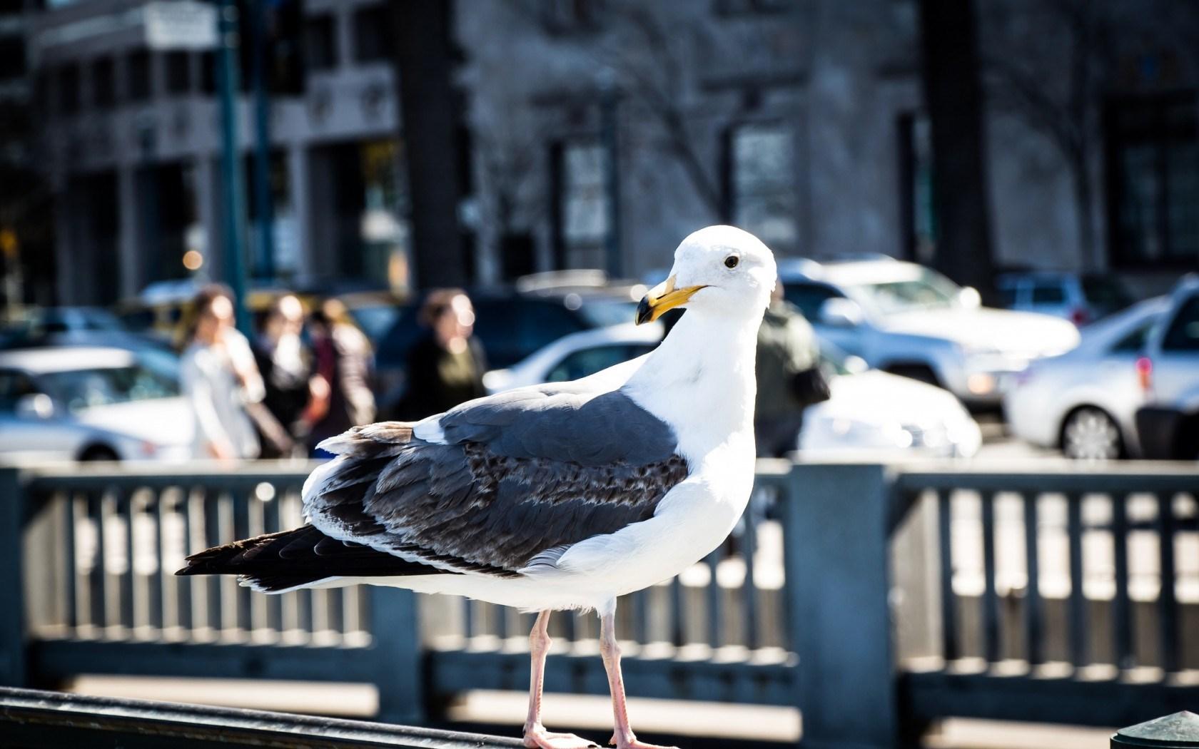 seagull beautiful desktop background