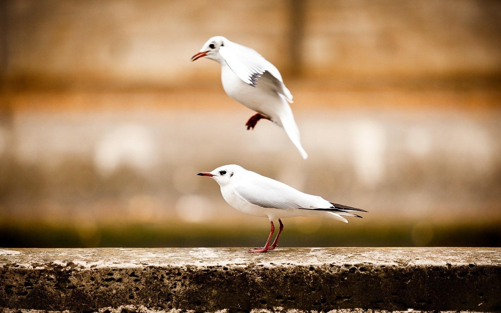 seagulls love