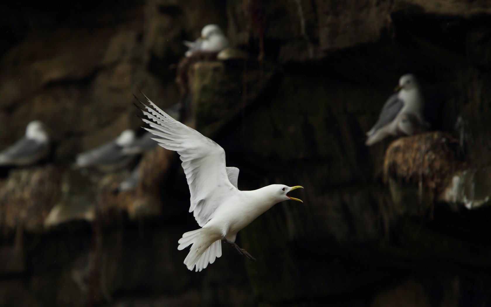 seagulls white