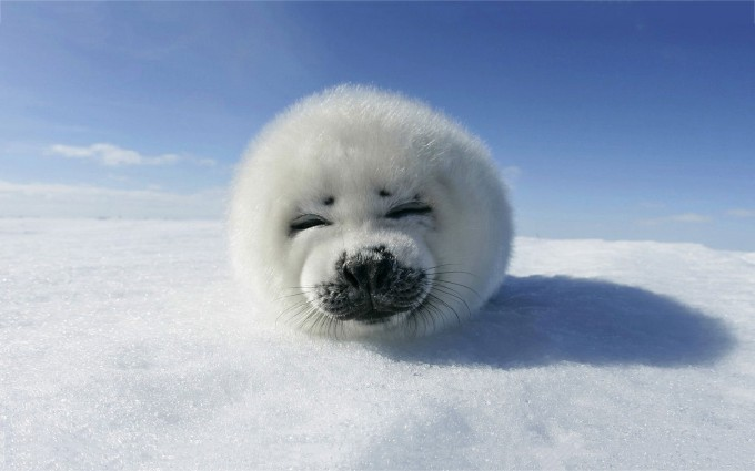 seal wallpaper white