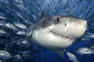 shark beautiful wallpaper