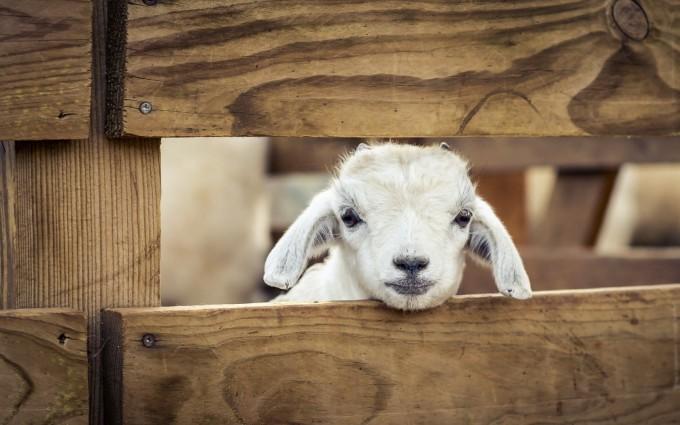 sheep wallpaper funny