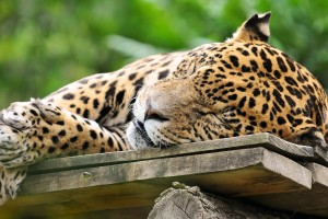 sleeping jaguar cute