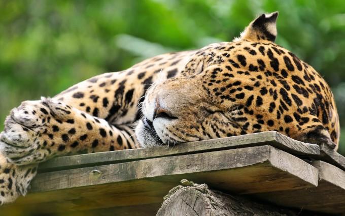 sleeping jaguar cute