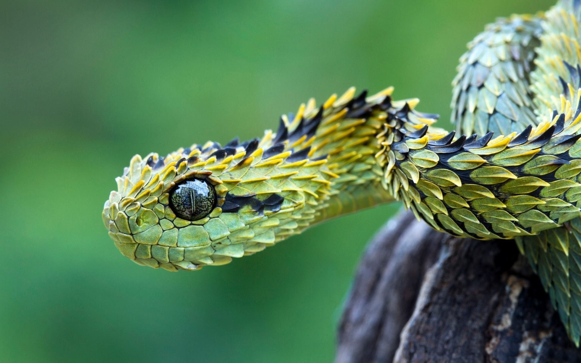 snake atheris hispida viper