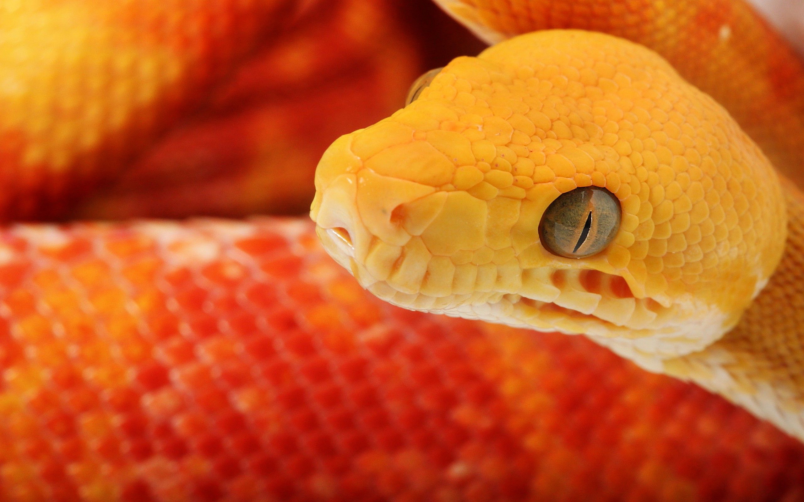 snake orange picutres