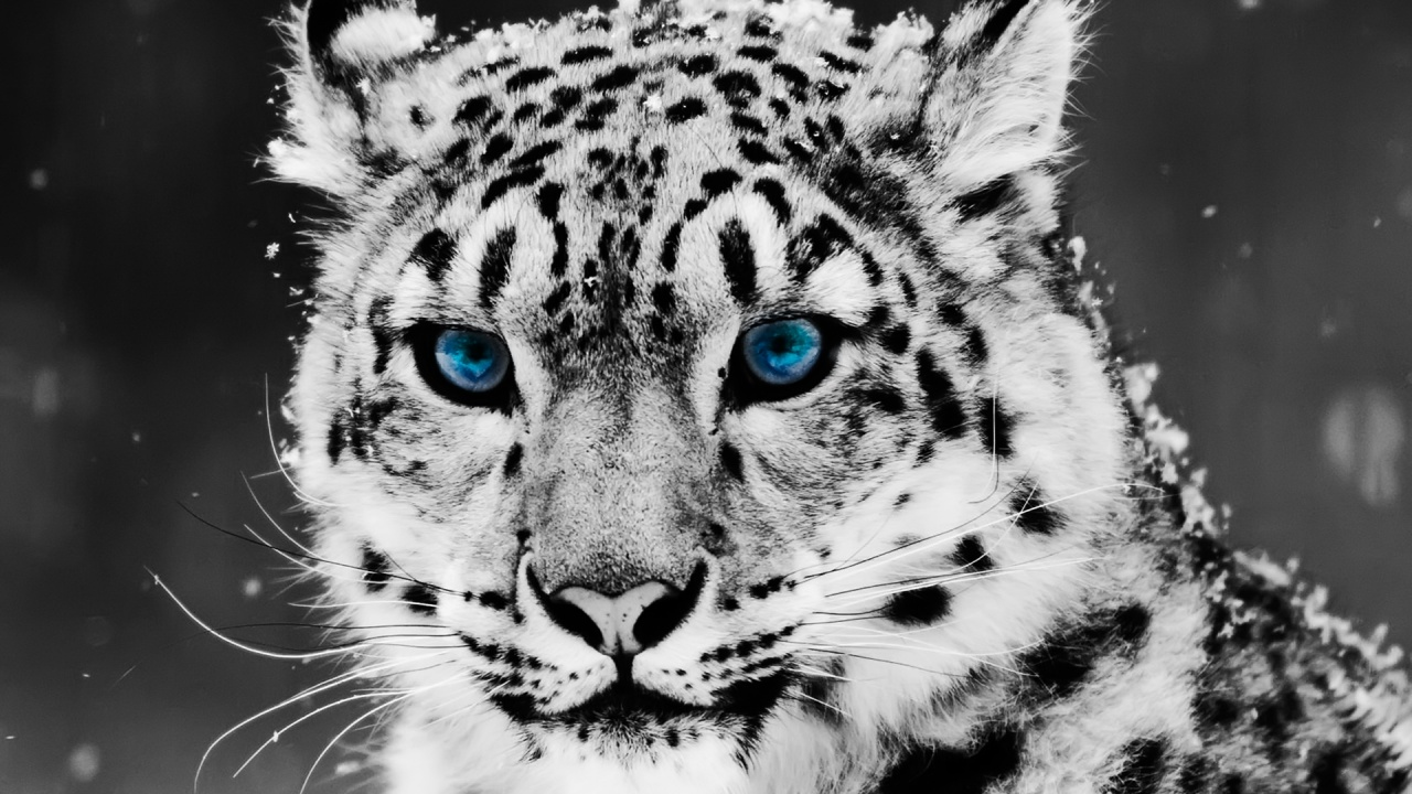 snow leopard blue eyes