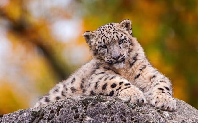 snow leopard cool wallpaper