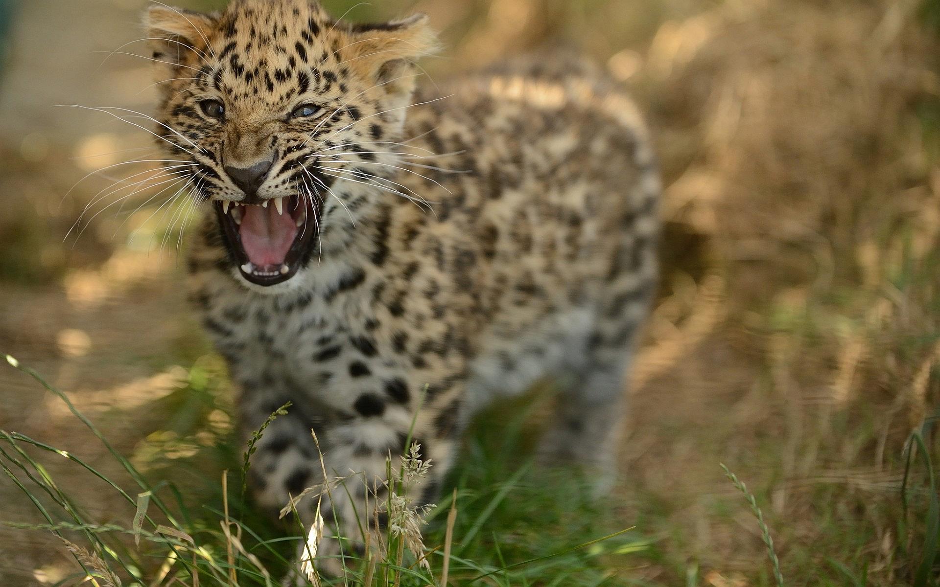 Snow Leopard Cub Beautiful Hd Desktop Wallpapers 4k Hd