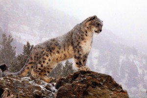 snow leopard curious