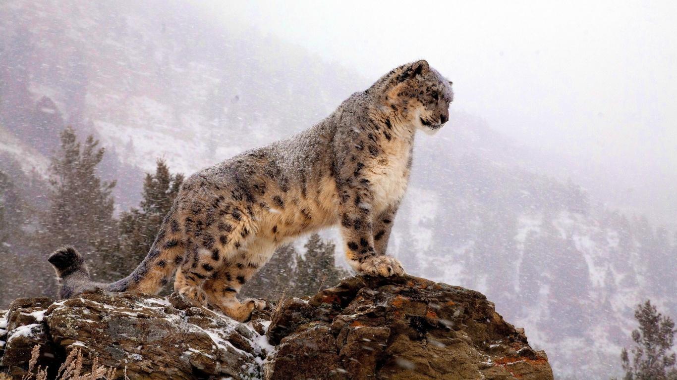 snow leopard curious