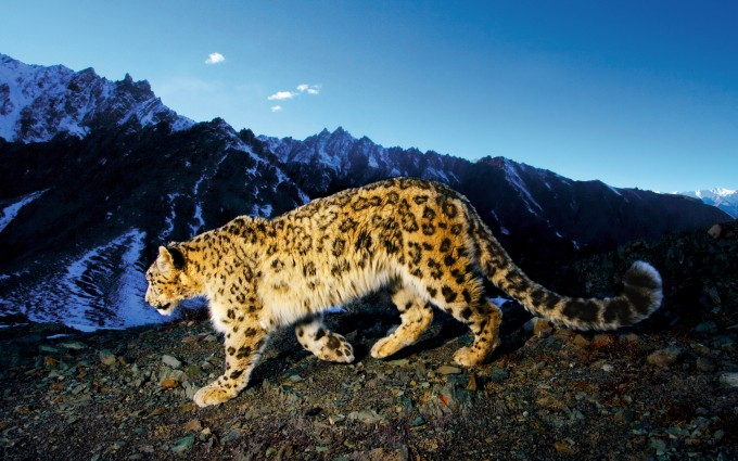 snow leopard cute