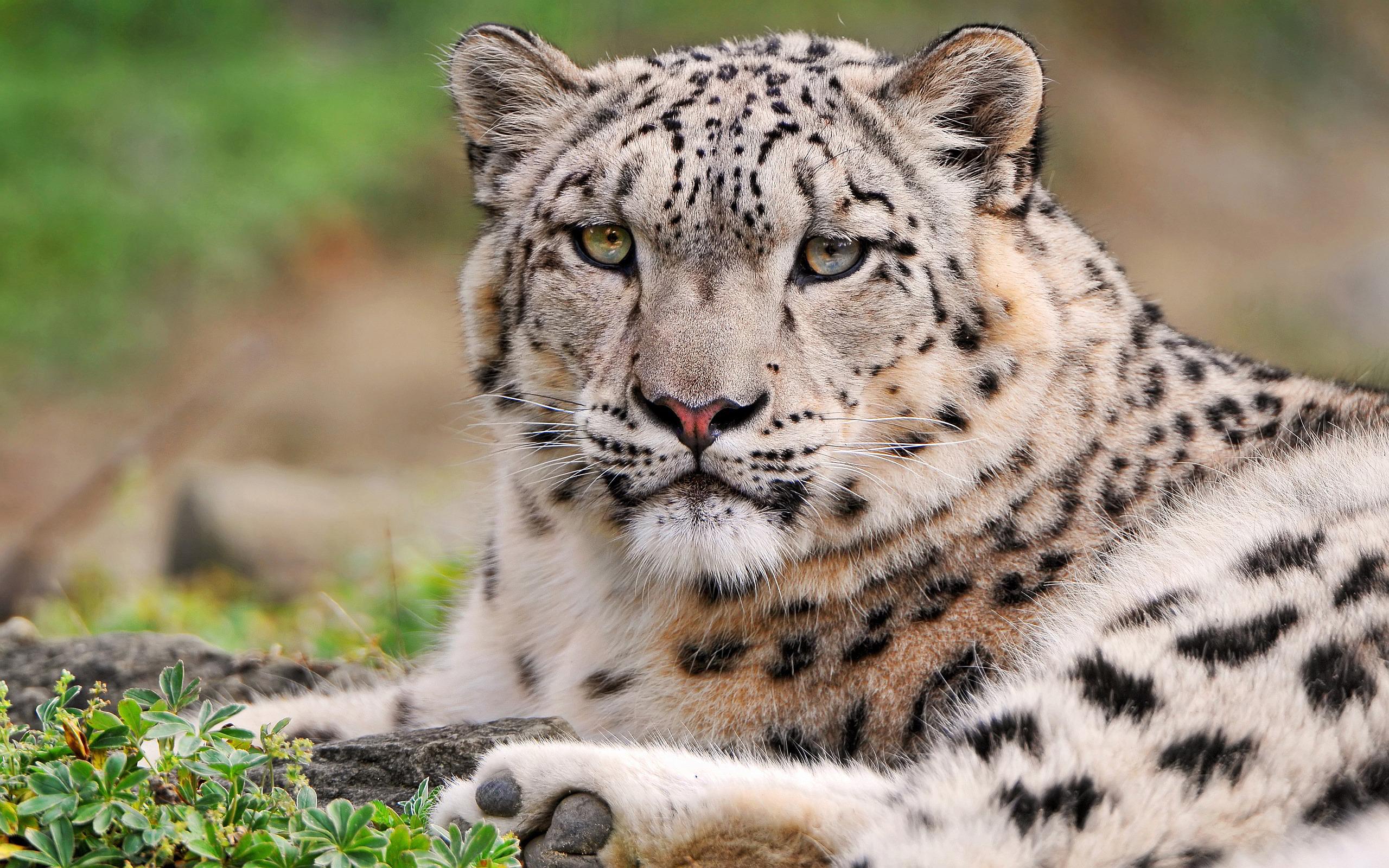 snow leopard desktop background