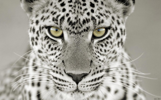 snow leopard free download