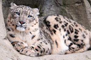 snow leopard images