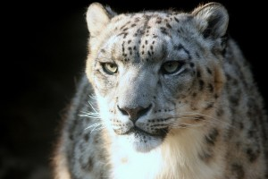 snow leopard nature animal