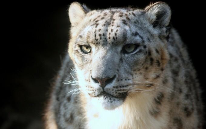 snow leopard nature animal