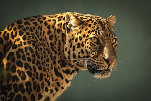 snow leopard predator
