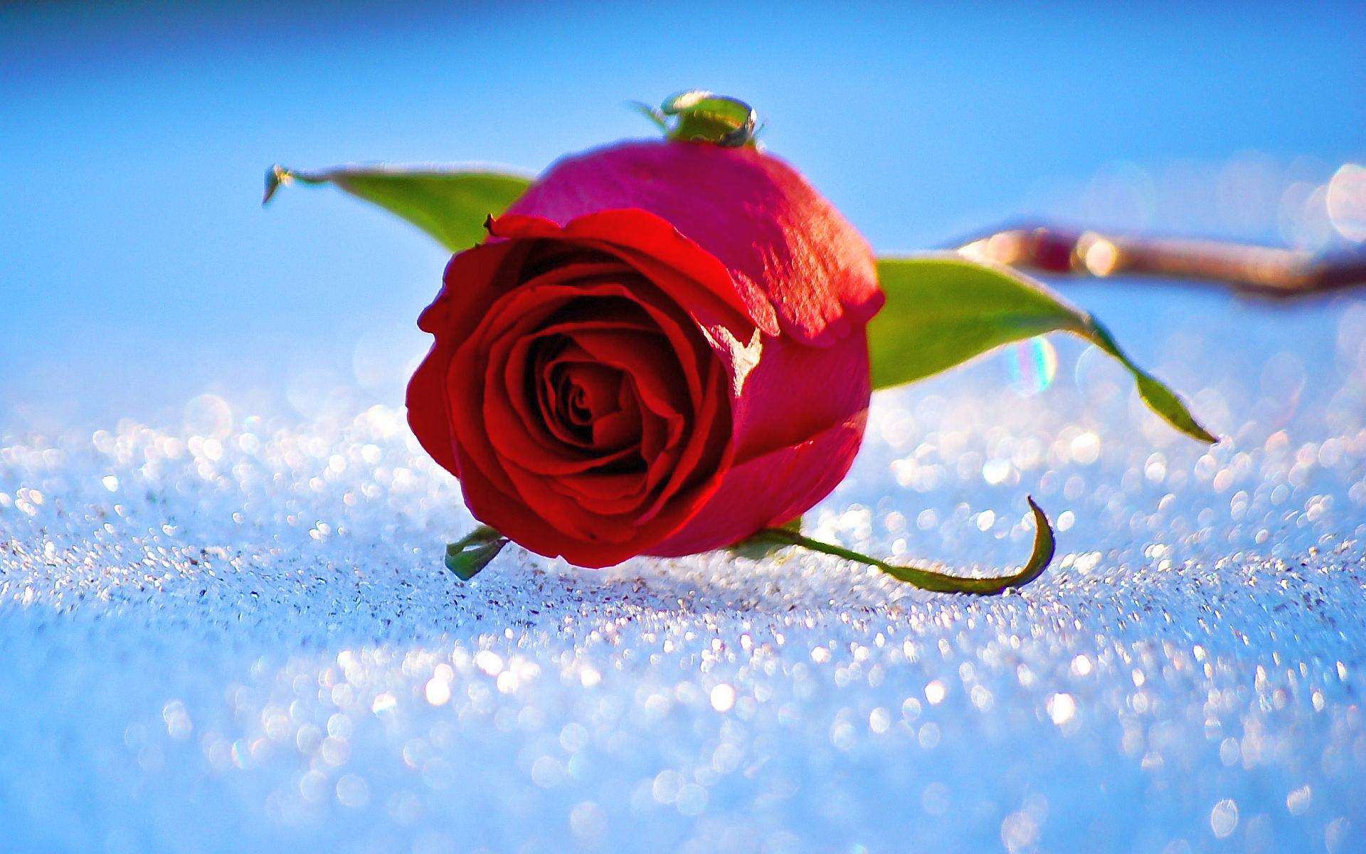 snow wallpaper rose