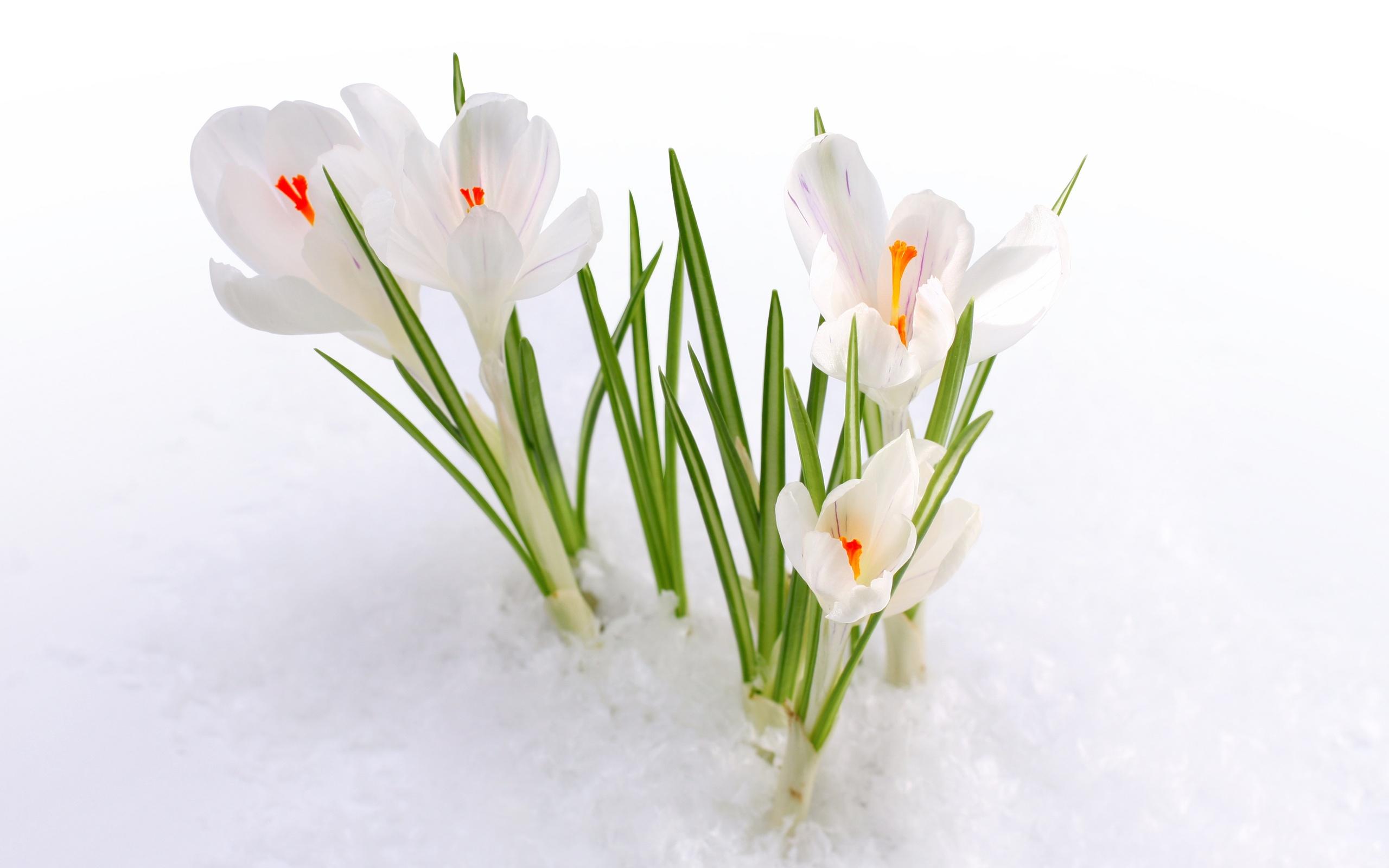 snow wallpaper white crocus