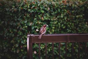sparrow beautiful nature