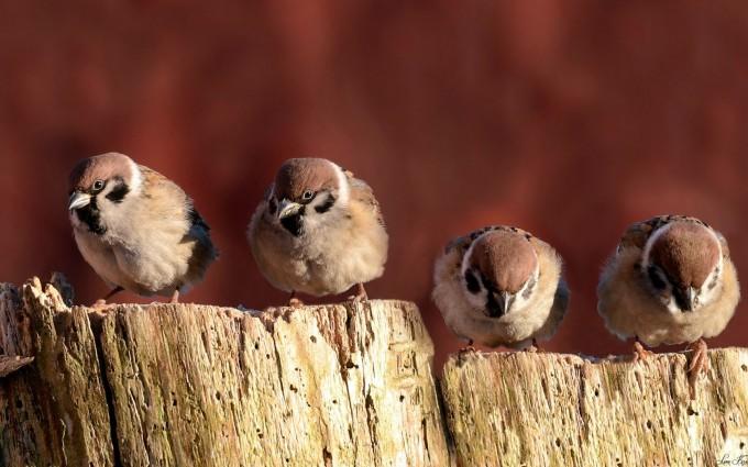 sparrow bird family
