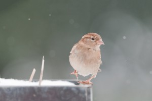 sparrow birds breed