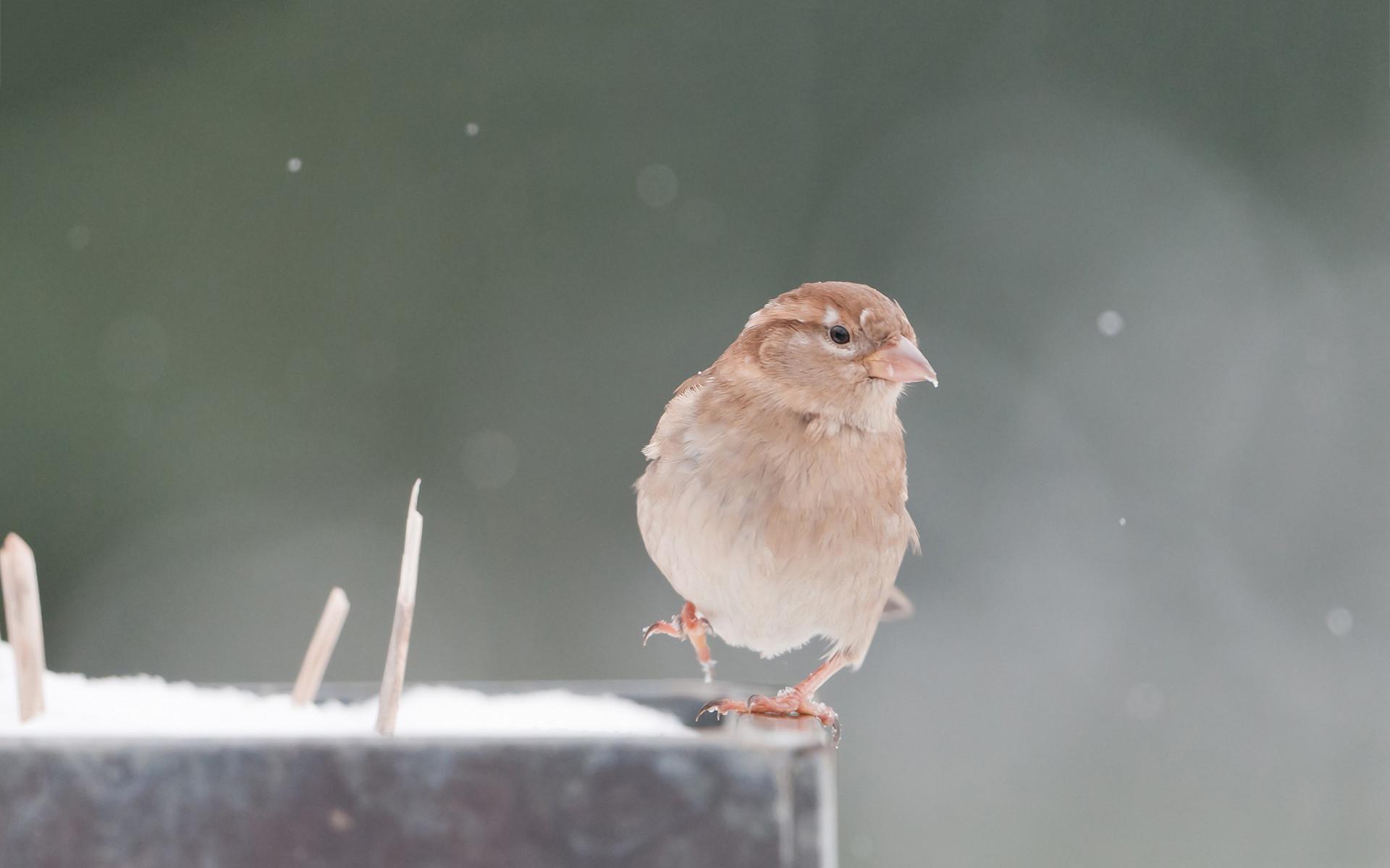 sparrow birds breed