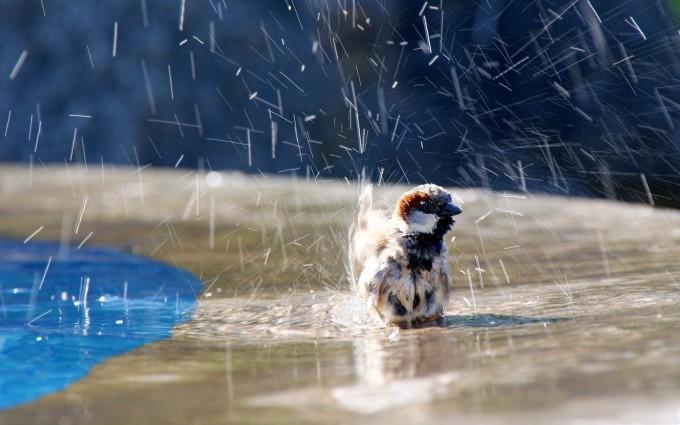 sparrow wet