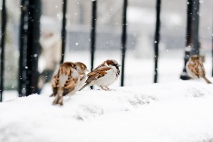 sparrows winter snow birds