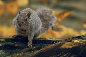 squirrel wallpaper nature