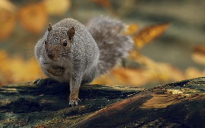 squirrel wallpaper nature