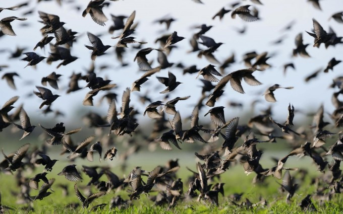 starlings wallpaper