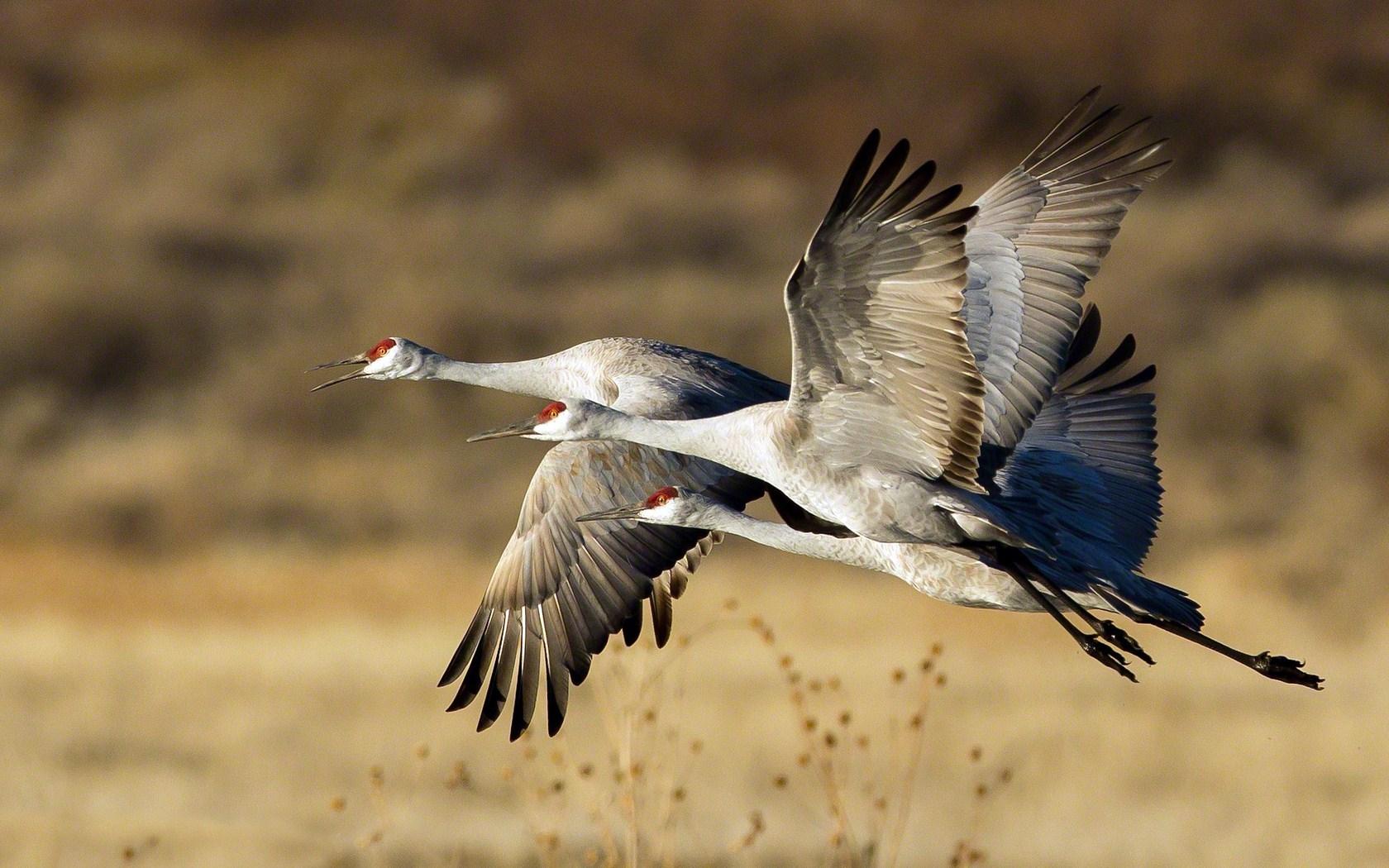 storks birds wallpaper