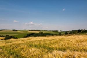 summer corn field images