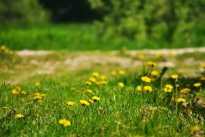 summer dandelion photos hd