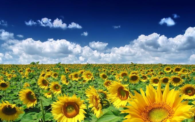 sunflowers field hd
