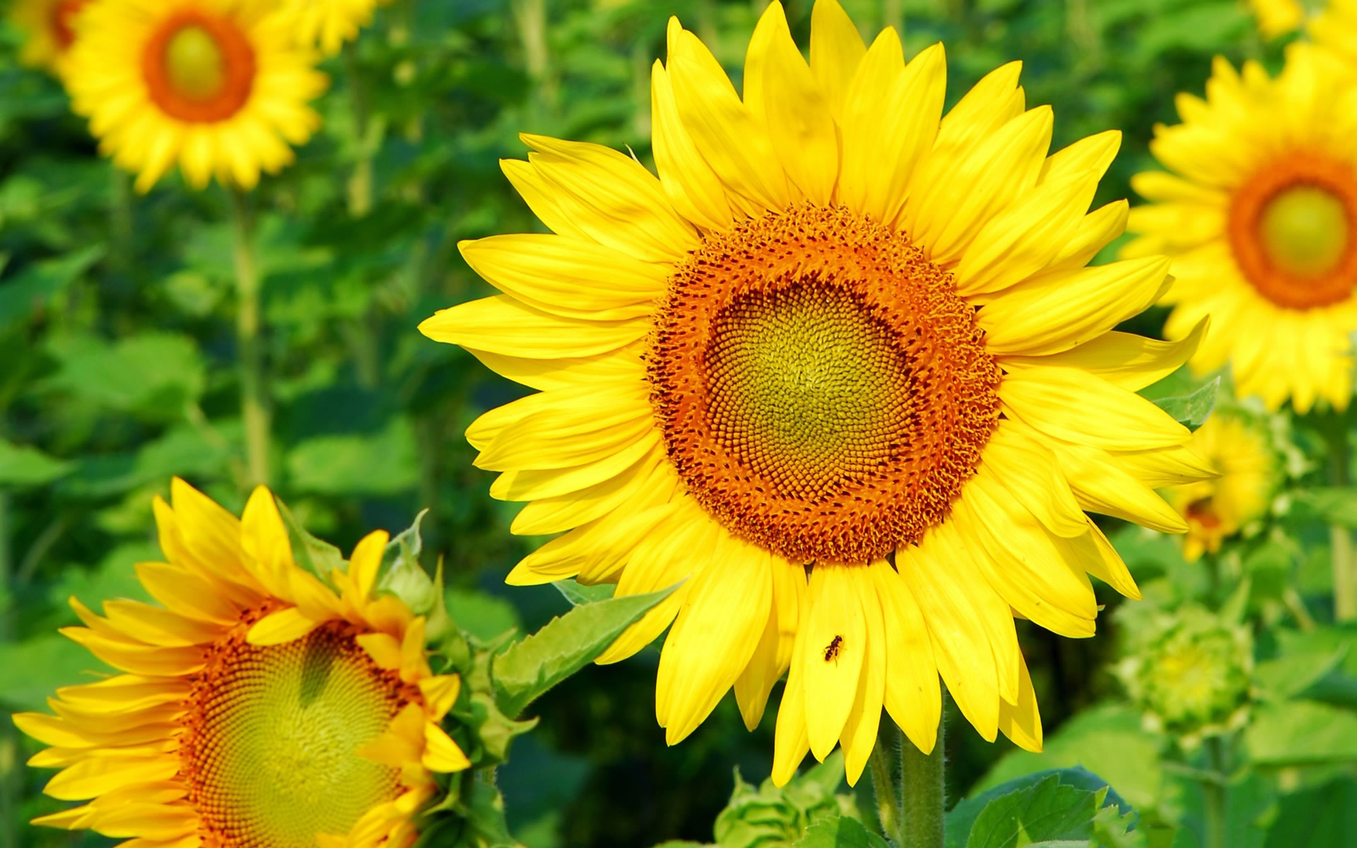 sunflowers free download