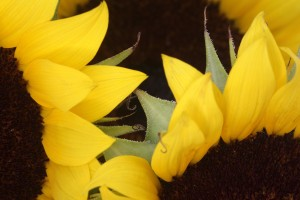 sunflowers macro photography
