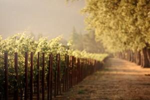 sunrise wallpaper vineyard
