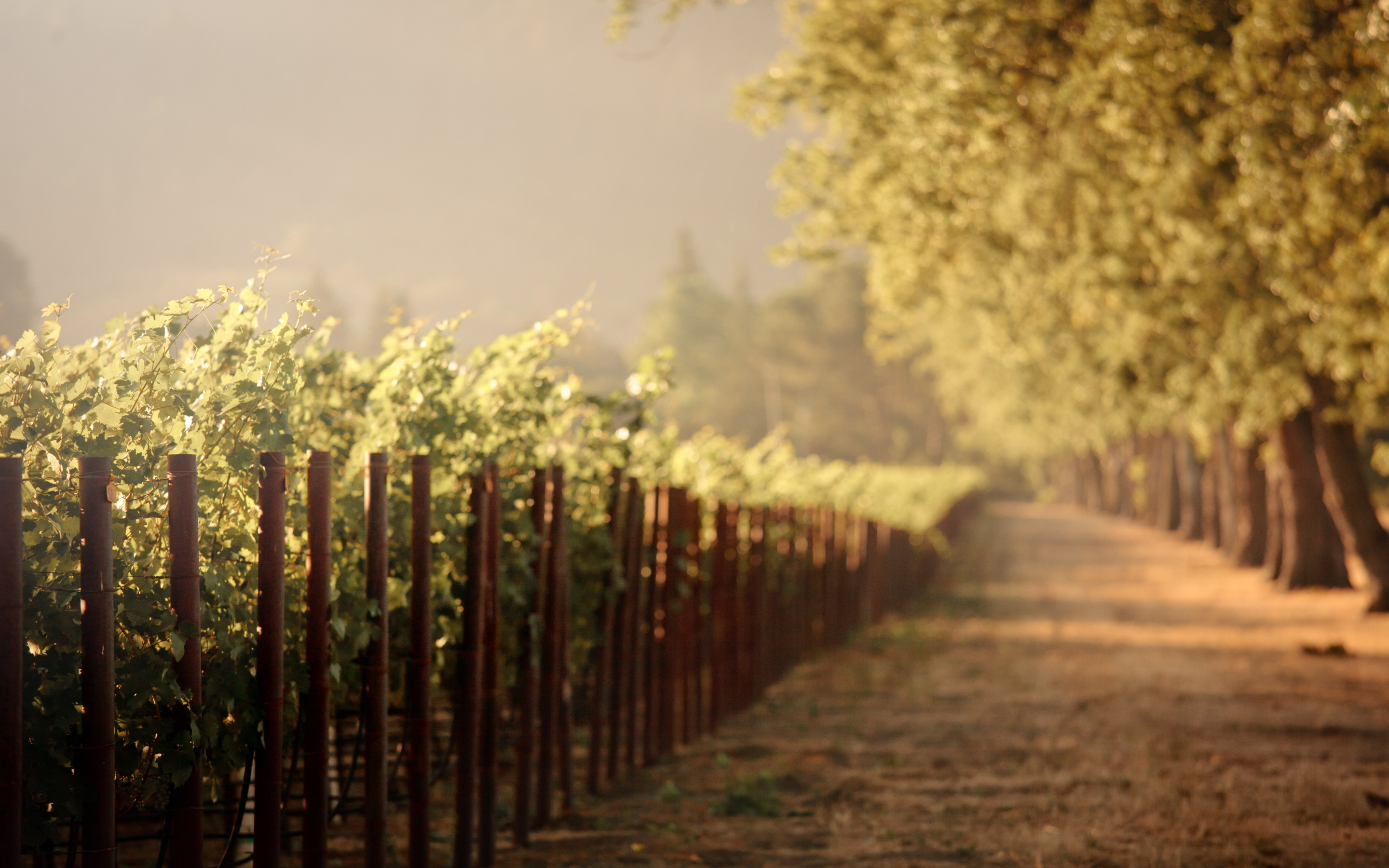 sunrise wallpaper vineyard