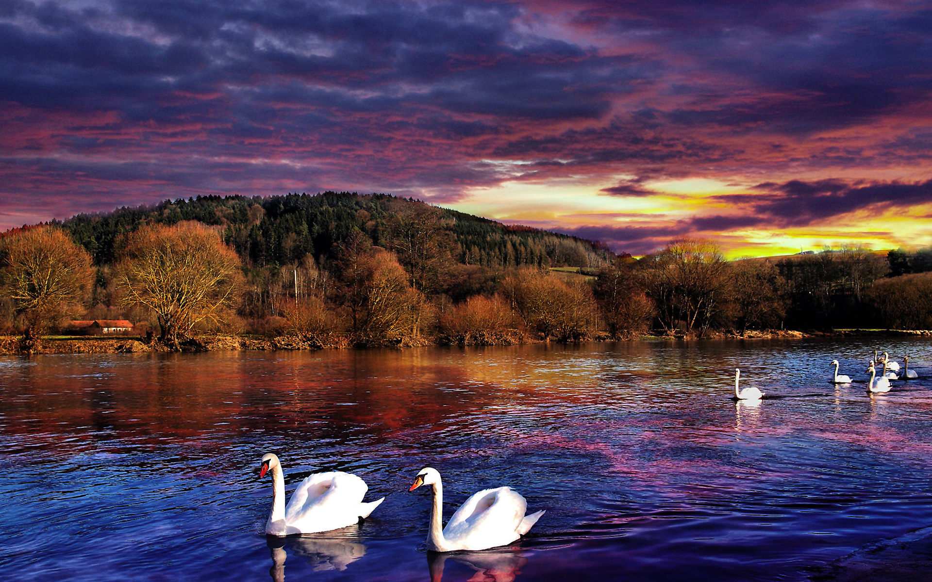 sunset images swans