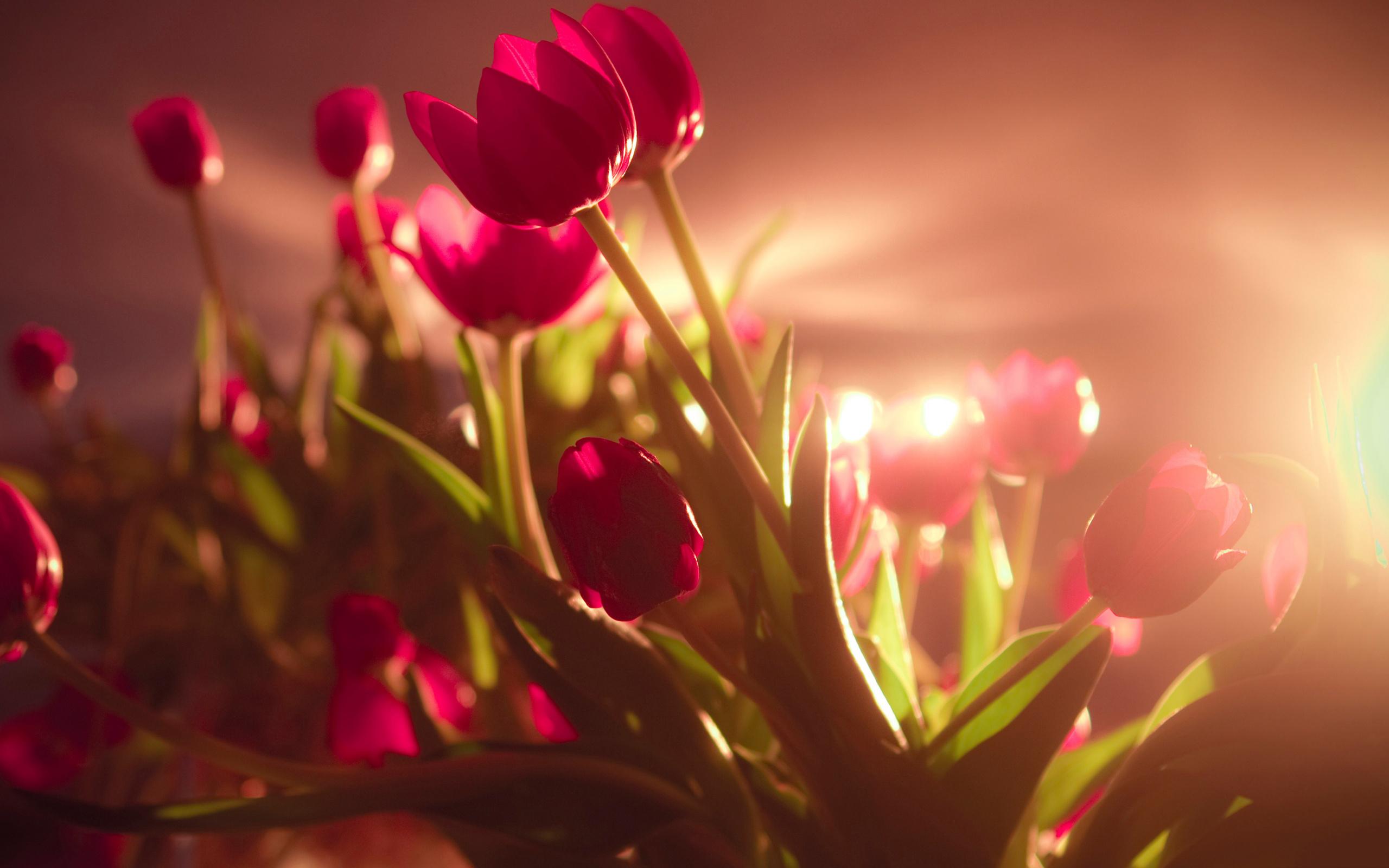 sunshine wallpaper tulips