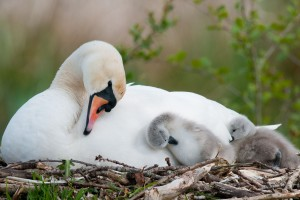 swan nest wallpaper