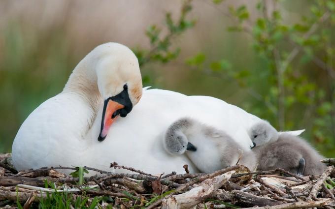 swan nest wallpaper