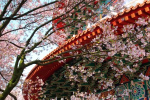 temple cherry blossoms